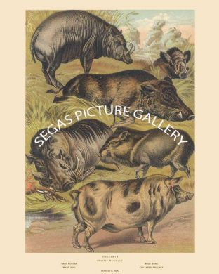 Baby Roussa, Wild Boar, Wart Hog, Collared Peccary, Domestic Hog